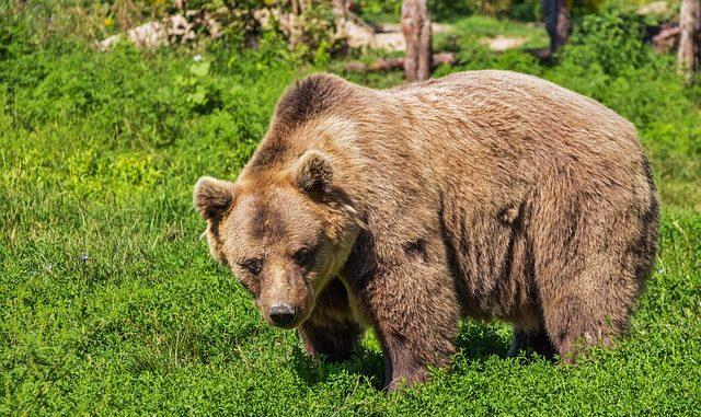 Medvěd na Břeclavsku - ilustrační foto