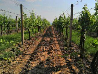 Vinaři odhadují termín sklizně na první zářijový týden