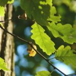 Moravské lesy pomohou zachránit i balkánské duby