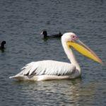 Na jihu Moravy byl pozorován vzácný pelikán i drop, největší ptáci Evropy