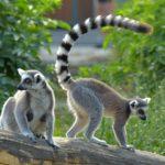Zoopark Vyškov má další lemury. Dostali větší venkovní prostory spojené tunelem