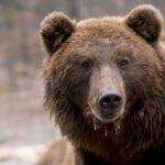 Medvědice Ema přišla o obojek, který umožňoval mapování pohybu. V současnosti se pohybuje na Slovensku