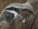 Mládě mravenečníka velkého v olomoucké zoo