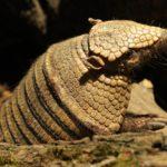 Zoo Brno letos odchovalo dva druhy pásovců a očekává rekord návštěvnosti