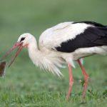 Ornitologové: znovu povolený jed proti hrabošům ohrožuje i dravce