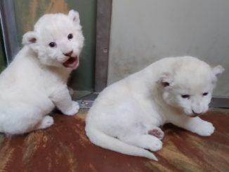 Hodonín Zoo lvíčata