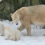 Zoo Brno plánuje dovézt nové medvědy. Medvědicím chybějí samci