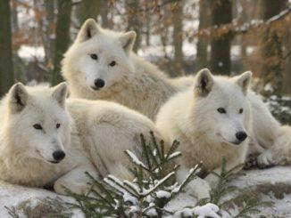 Vlk arktický Zoo Brno