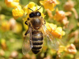Podyjí včely