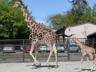 Zoo Olomouc žirafa Safira