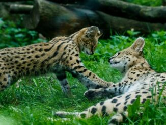 Zoo serval
