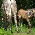Ostrava zachraňuje populaci nejohroženější zebry. V Zoo se narodilo mládě