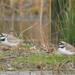 Na jihu Moravy vznikne ptačí park. S jeho vybudováním pomohou dobrovolníci