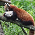 Video: Brno má první mládě pandy červené. Dočkali jsme se, raduje se ředitel