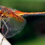 Ráj pro vážky. V ostravské zoo žije více než třetina všech tuzemských druhů, zjistil student