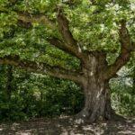Hlasování o strom roku vrcholí! Na Moravě má šanci Hugo z Lednice