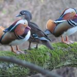 Na Svratce se zalíbilo exotickým kachnám. V Brně hnízdí pravidelně