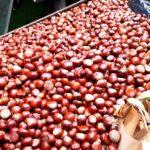 Do brněnské zoo donesli už tunu kaštanů. Lidé sbírají plody pro zvířata