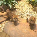 VIDEO: Ostravská zoo chová nejmenší kočky na světě. Ukázala dva přírůstky
