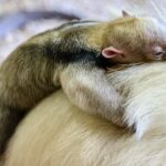 Zlín se raduje z mláděte mravenečníka čtyřprstého. Poprvé v historii zoo