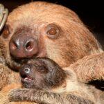 Maličký lenochod se má k světu. Zoo Olomouc hlásí další dobré zprávy