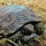 Světový úspěch ve Zlíně: Zoo odchovala vzácnou želvu