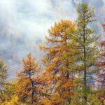 Pomůže modřín s obnovou lesů? Na výzkumu se podílí vědci z Brna