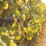 Vinná réva se zachránila před jarními mrazy, vyrašila nejpozději za čtvrtstoletí