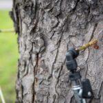Ostrava bojuje proti klíněnce, ošetřeny budou stovky jírovců