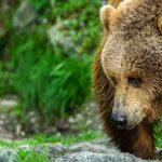 """Medvědi letos do Beskyd nezavítali, zjistilo """"sčítání"""" velkých šelem"""