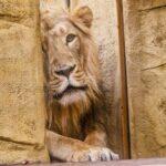 Ostravská zoo získala mladého lva indického, seznamuje se s novým prostředím