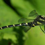Překvapení v Bílých Karpatech: Na chráněné louce náhodně objevili vzácnou vážku