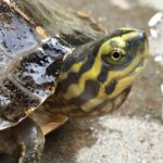 ZOO Ostrava se podařilo odchovat přes 200 mláďat ohrožené želvy chrámové