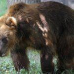 VIDEO: Kamčatská medvědice z Francie dorazila do brněnské zoo