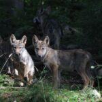 V Beskydech se zabydleli vlci, letos přivedli na svět potomky