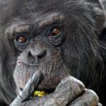 Brněnští šimpanzi se stěhují do hodonínské zoo